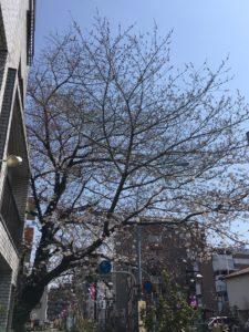 桜 満開宣言